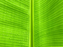 Banana Leaf Texture Background With Water Drop, Fresh Banana Leave As Wallpaper Or Background, Closeup Green Banana Leaf With Water Drop