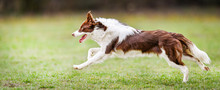 Dog Run Side View. Young Brown White Border Collie Jump On Meadow.