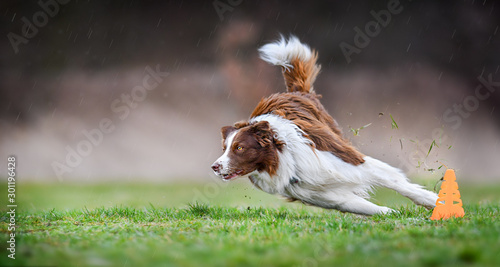 Foto op Plexiglas Hond Dog run side view. Brown and white border collie turn very fast around cone on meadow. Agility training place.