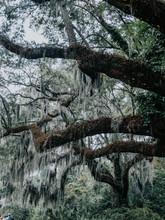 Spanish Moss On A Tree
