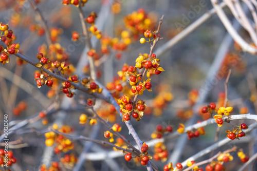 Bittersweet berries in fall Canvas Print
