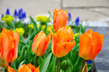 A Beautiful Combination Of Tulips, Grape Hyacinths And Bright Green Spurge Announce The Arrival Of Spring.