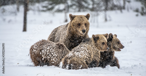 Recess Fitting Polar bear Bear family in the snowfall. She-Bear and bear cubs on the snow. Brown bears in the winter forest. Natural habitat. Scientific name: Ursus Arctos Arctos.