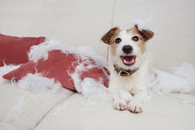 FUNNY DOG MISCHIEF. NAUGHTY JACK RUSSELL HOME ALONE AFTER BITE AND DESTROY A PILLOW ON A SOFA. SEPARATION ANXIETY CONCEPT