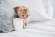 Cat walks near the white cup on the bed. Close up photo of cute pet