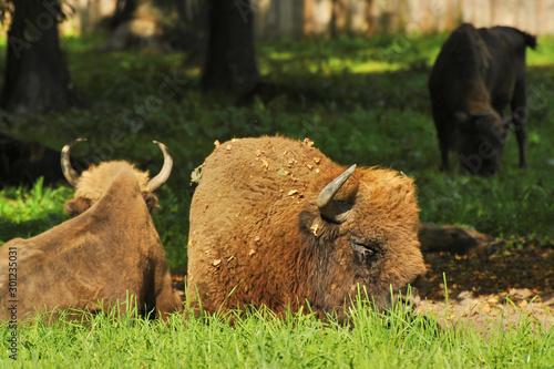 Fényképezés  Bison in a natural setting.