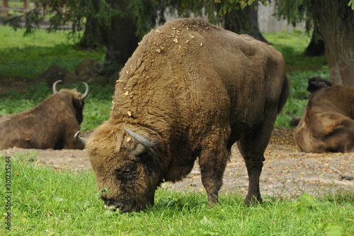 Photo Bison in a natural setting.
