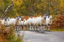 Flock Of Highland Mule Sheep A...