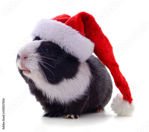 Cuadros en Lienzo Guinea pig and Christmas hat.