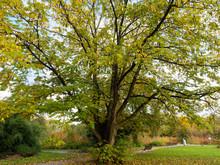(Pterocarya Fraxinifolia) Kauk...
