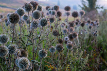 White Milk Thistle Thicket And...