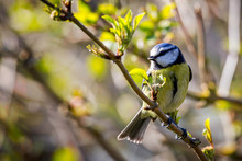 Close Up Of A Blue Tit Perched On A Branch With Yellow Background