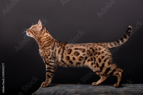 Photo Beautiful Bengal cat breed on a black background