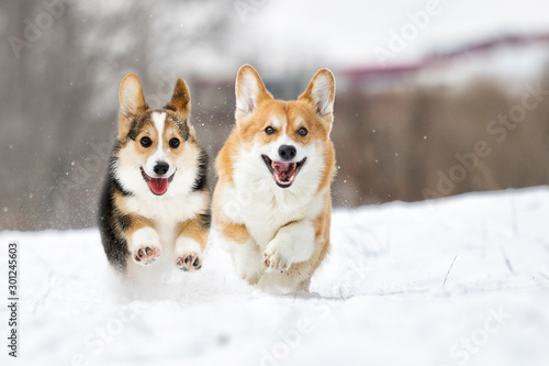 Cuadros en Lienzo  welsh corgi dog running outdoors in the snow