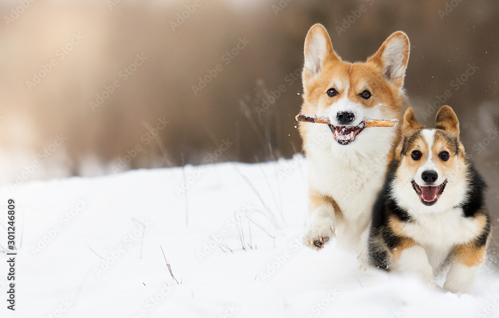 Fototapety, obrazy: welsh corgi dog running outdoors in the snow