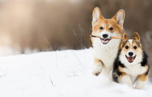 Welsh Corgi Dog Running Outdoo...