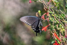 Pipevine Swallowtail On Flame ...