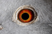 Close Up Image Of Racing Pigeon Eye