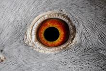 Close Up Image Of Racing Pigeon Eye