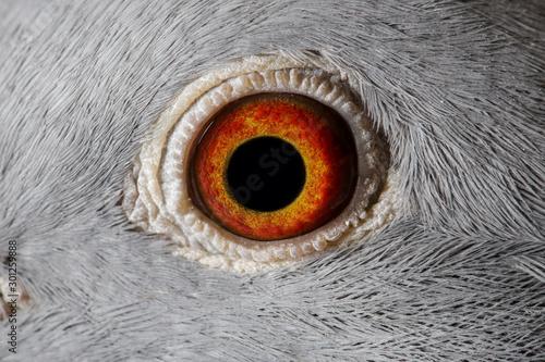 Fotobehang Iris Close up image of racing pigeon eye