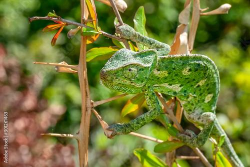 Recess Fitting Butterfly Macro shots, Beautiful nature scene green chameleon