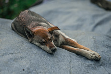 A Dog Sleeps On A Plastic Cover In The Small Little Mountain Town Of Sapa In Northern Vietnam