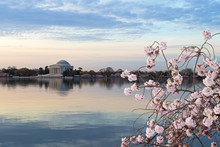 A Close-up Cherry Branch With Flower At |Tidal Basin Reservoir In Washington DC, USA. Thomas Jefferson Memorial Before Sunrise In Spring During Cherry Blossom.