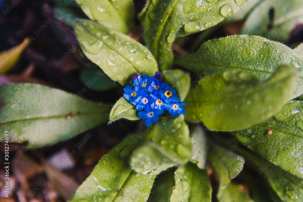 Fototapety, obrazy: macro of forget me not plant with blue flowers