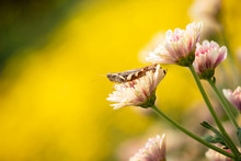Close Up Of Grasshopper On Flo...