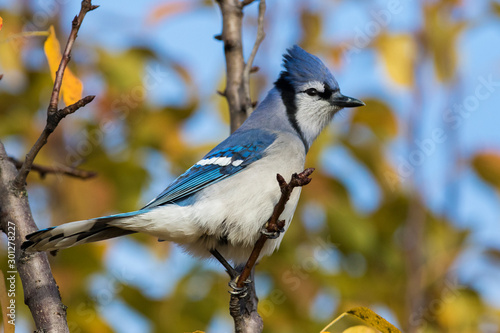 Leinwand Poster Blue jay in fall