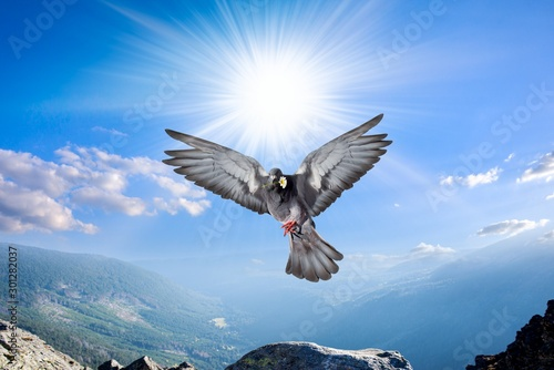 Foto auf Leinwand Adler Dove in the air with wings wide open . Angel Bird in Heaven