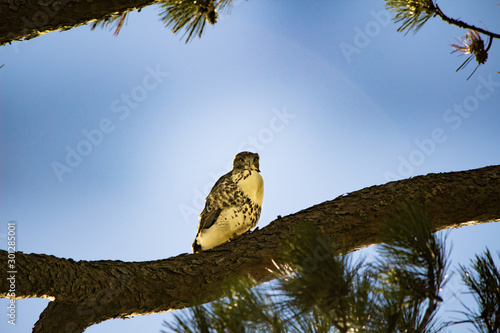 Photo Hawk Owl