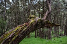 Closeup Shot Of A Broken Moss Covered Tree In The Middle Of The Jungle Captured In Mount Kenya