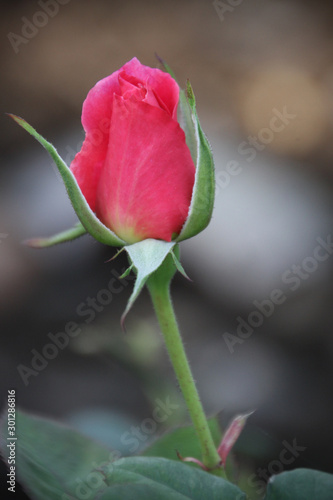 long stem red rose on dark background