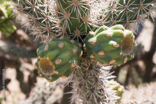 Cluster of Cholla cactus fruit.