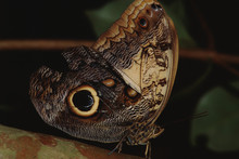 Giant Owl Butterfly (Caligo Me...