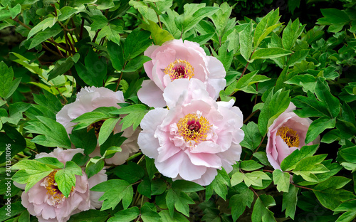 Fototapeta a bush of beautiful pink with yellow center large peonies. flowers on bright green foliage background. floral background obraz