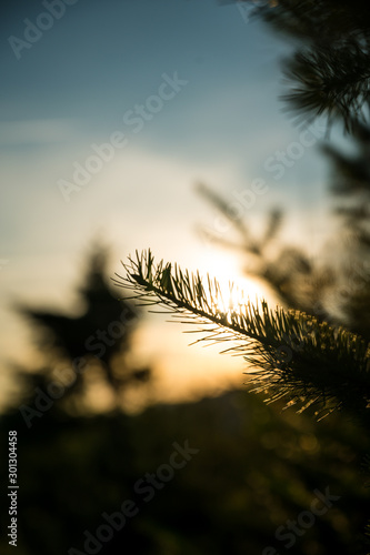 Sun setting behind closeup of pine tree needles, autumnal nature background - 301304458