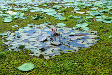 Green Leaves And Buds Of Water Lilies In The Water At The Pond, Lily Pad Pond