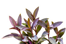 Violet Leaves Pattern,leaf  Tradescantia Pallida Or Purple Queen Plant Or Purple Heart Isolated On White Background