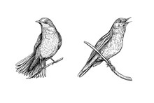 Nightingale. Set Of Elements For Design. Graphic Drawing, Engraving Style. Vector Illustration In Black And White.