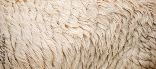 Deurstickers Schapen Detailed closeup of natural Australian sheep wool.