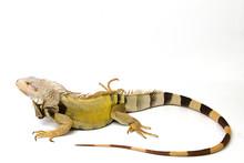 Large Green Iguana Isolated On...