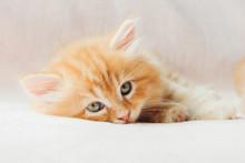 Sleepy Mainecoon Kitten