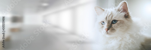 Portrait of beautiful sacred cat of burma; panoramic banner