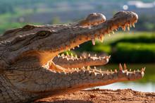 Nile Crocodile, 2 Crocs, On Land, In Sun, Beautiful Light, Open Mouths