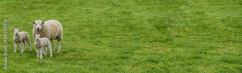 Fotografia Three sheep in field banner image