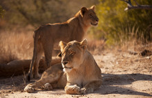 Pair Of Lionesses In Timbavati...
