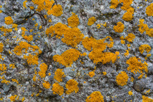Yellow Lichen Growing On A Rock