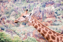 Portrait Of An Adult Giraffe Very Camouflaged With The Environment